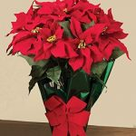 22-Potted-Red-Poinsettia-Plant-with-10-Flowers-and-Decorative-Bow-0