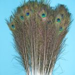 Natural-Peacock-Feathers-Big-Eyed-Long-and-Lush-40-45-Per-Bundle-of-50-0